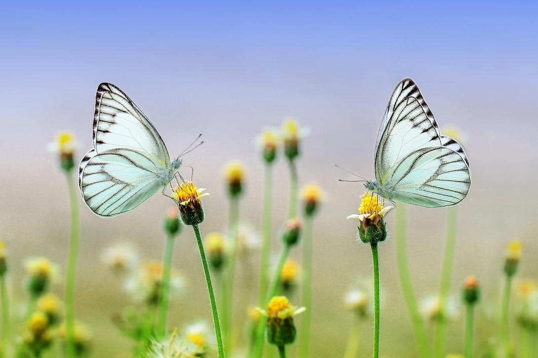 légers comme des papillons